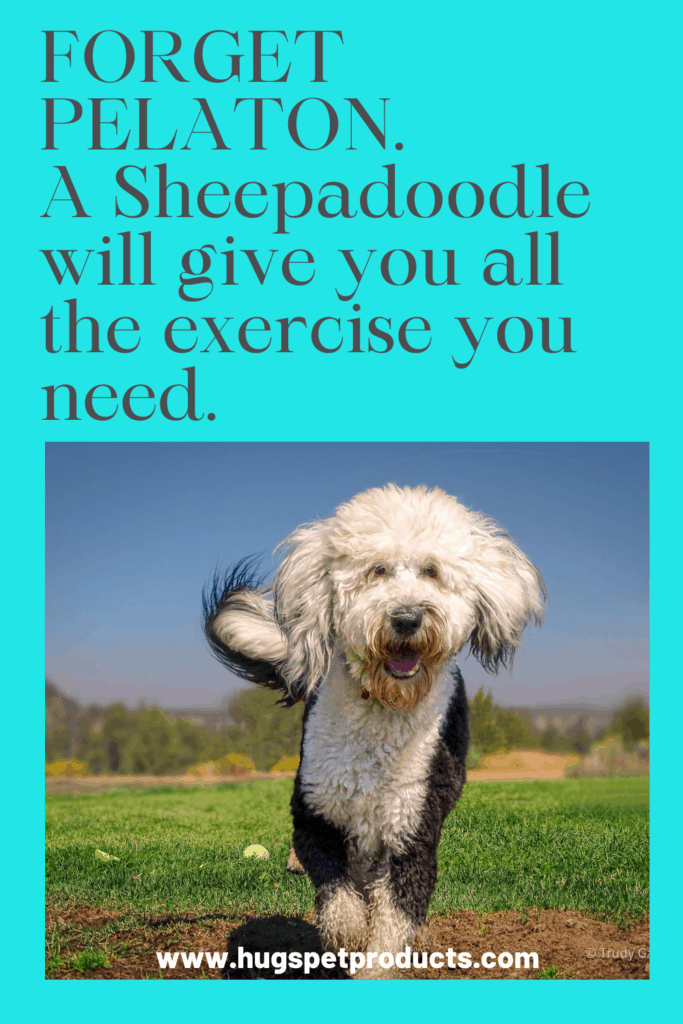 The sheepadoodle requires a lot of exercise