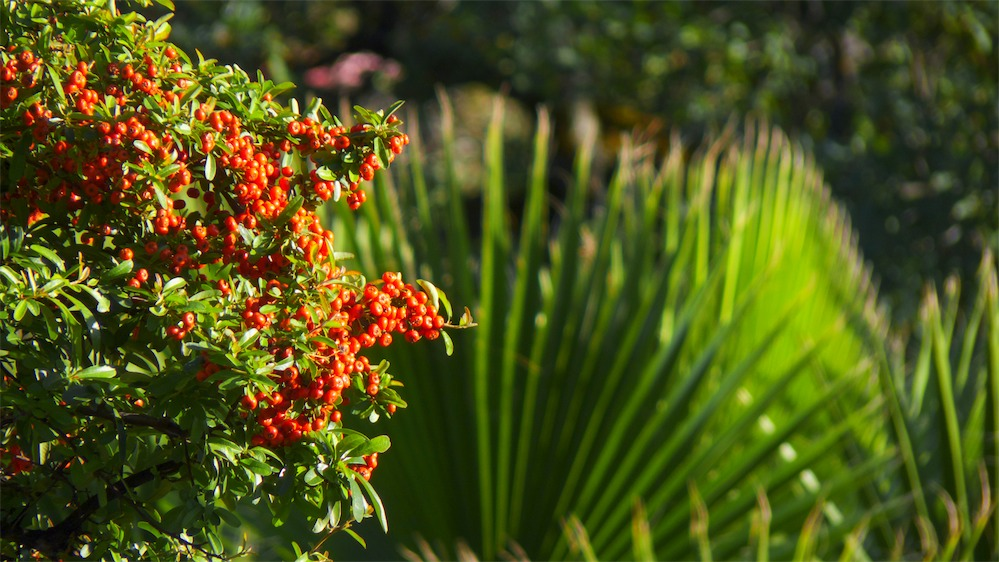 Pyracantha and Palm.jpg
