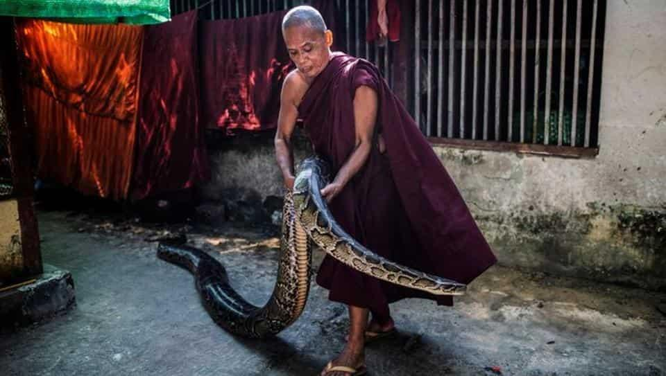 A Buddhist monk holds a Burmese python at a monastery that has turned into a snake sanctuary on the outskirts of Yangon, Myanmar.