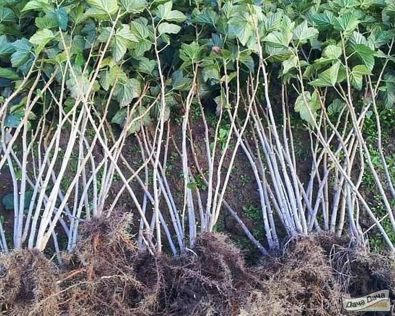 Выбор и подготовка посадочного материала малины