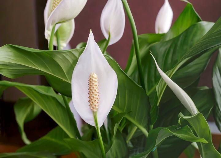 Peace Lily tanaman hias pemula
