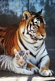 El Tigre Sibiriano Por Henry Animales En Peligro De Extinción