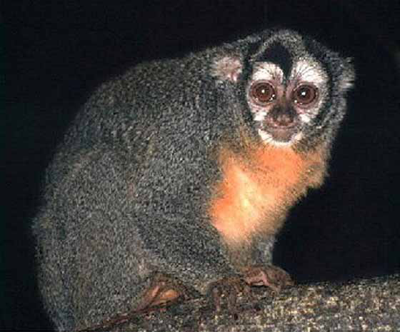 Aotus tivirgatus (Owl monkey) [11].
