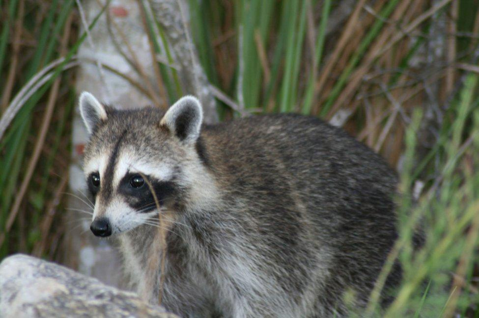 Police in Richmond, Calif., said officers responded to a report of a suspected burglary in progress, but arrived to find a large group of raccoons fighting. Photo by Korall/Wikimedia Commons