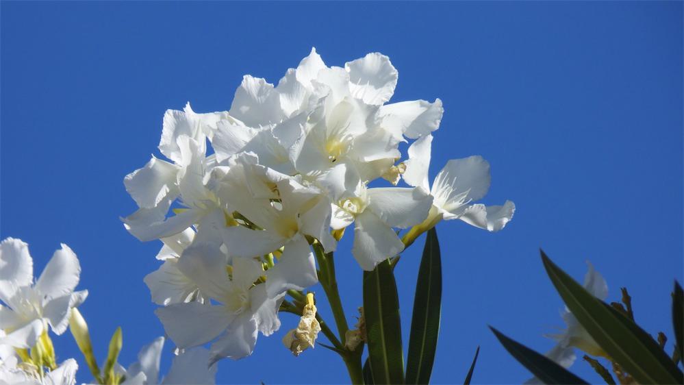 White Oleander 1.jpg