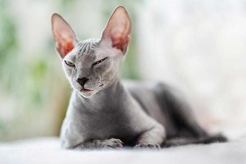 mèo sphynx ăn gì