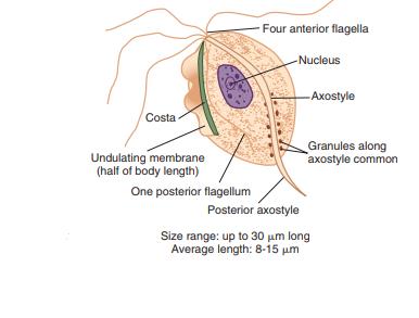 Trichomonas vaginalis trophozoite