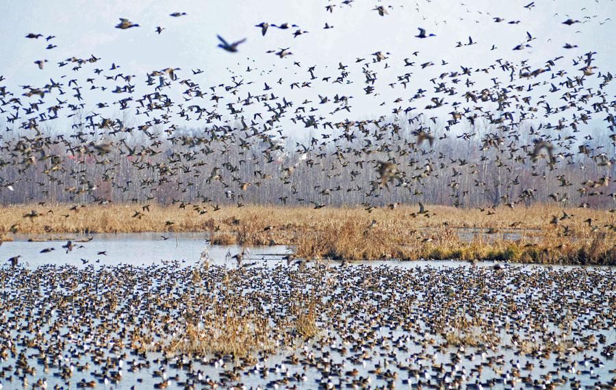 Hokersar wetland on the outskirts of Srinagar, Kashmir