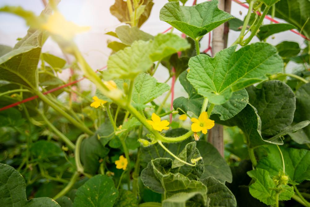 Floração do meloeiro