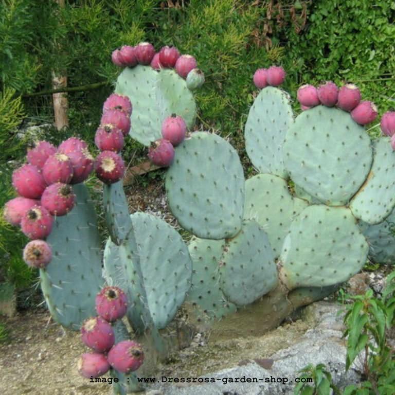 Opuntia Cactus 02