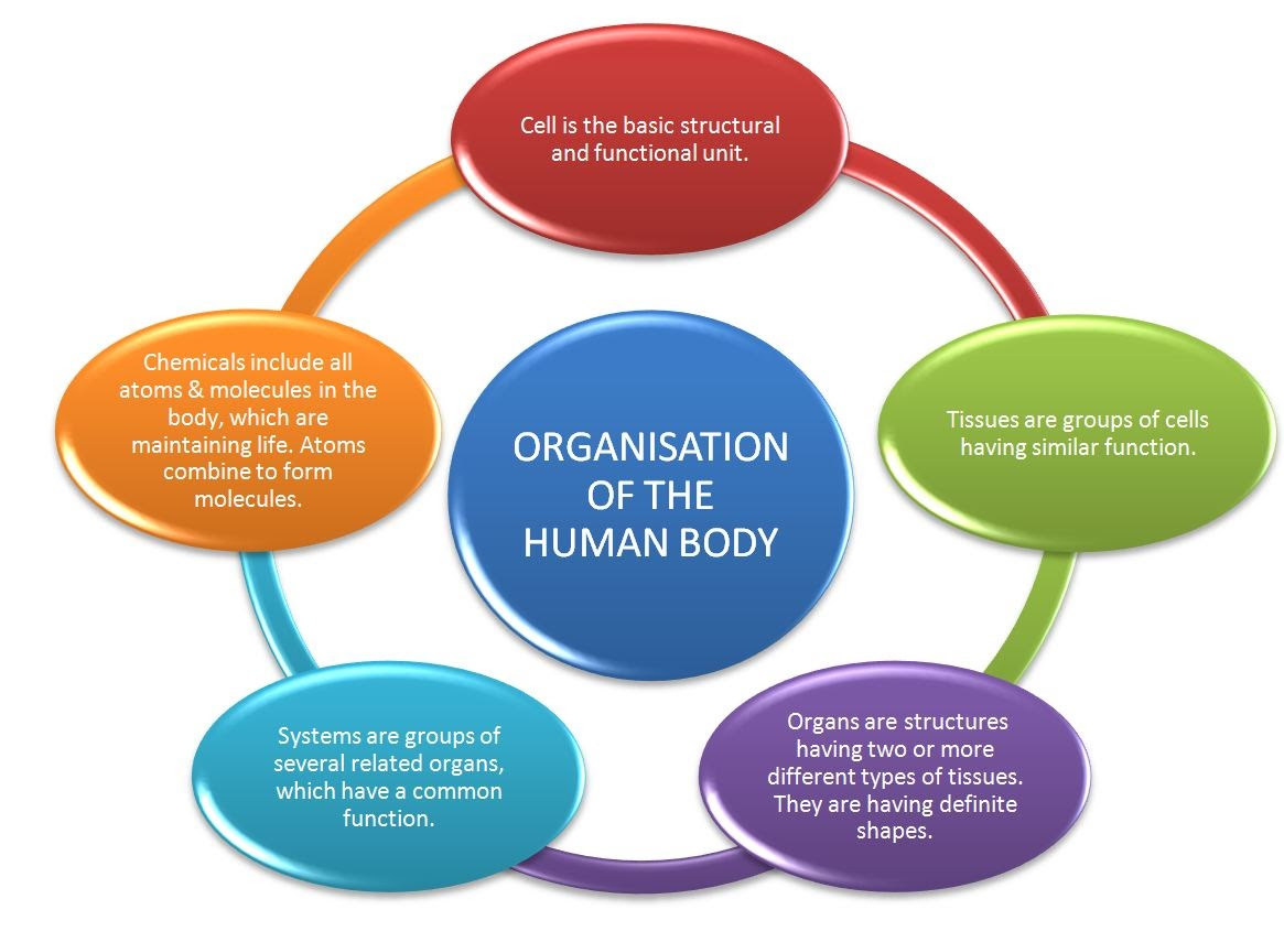 Organisation of the Human Body