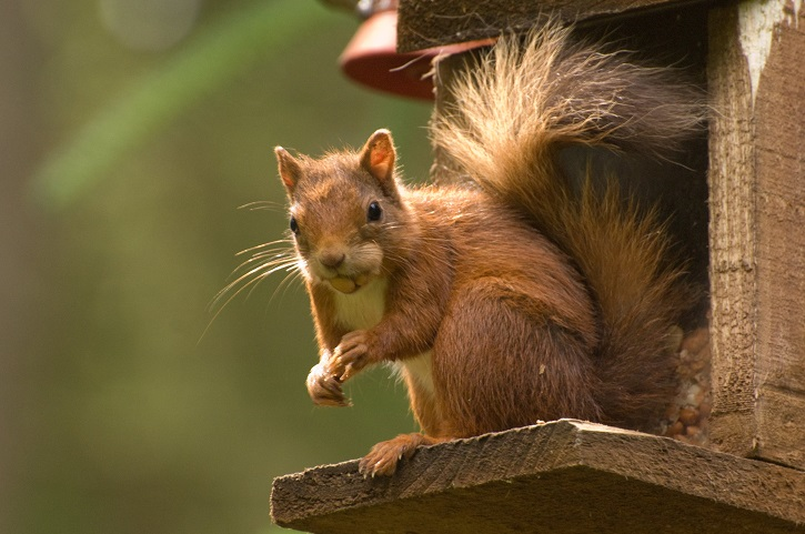 Red squirrel with nuts in its mouth