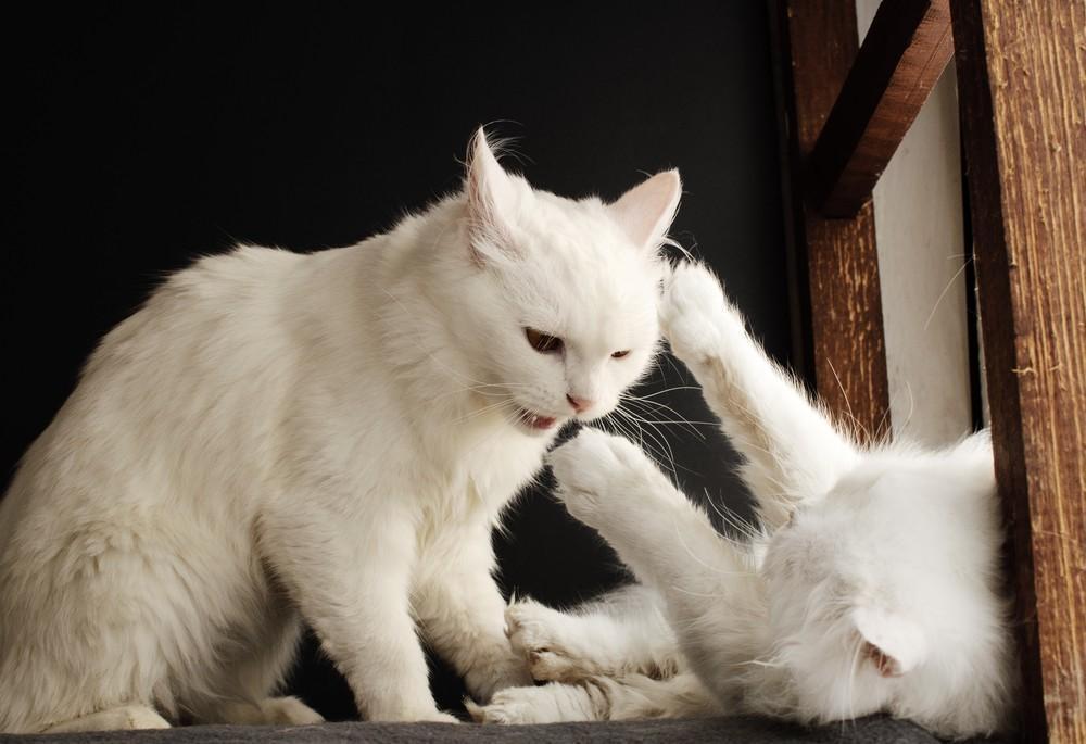 Mijn katten, die altijd maatjes zijn geweest, zijn gaan vechten. Hoe komt dit en hoe kan ik hun vriendschap helpen herstellen?