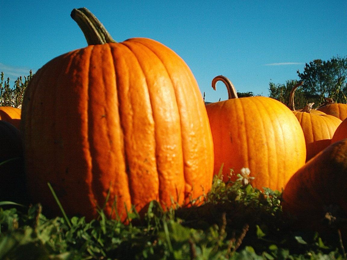 File:Pumpkins Hancock Shaker village 2418.jpg - Wikimedia Commons