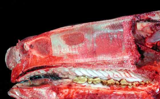 Bisection of the skull, nasal septum still intact.