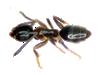 odor ant