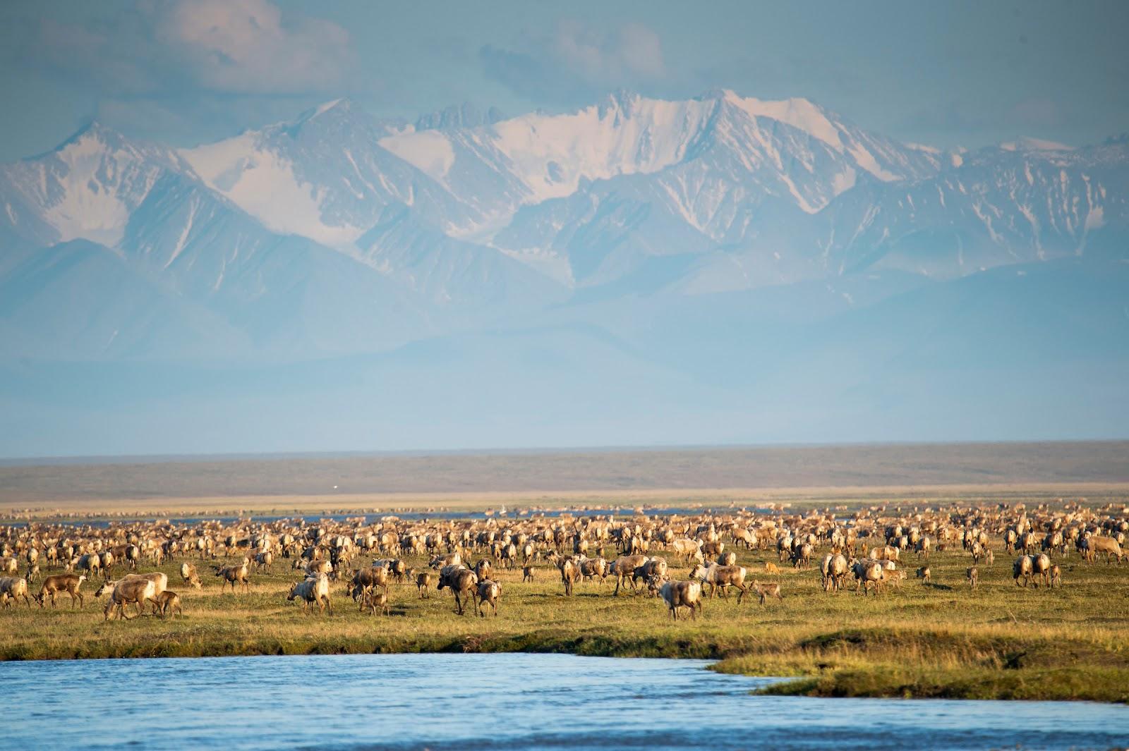 Porcupine caribou herd on the coastal plain of the Arctic National Wildlife Refuge