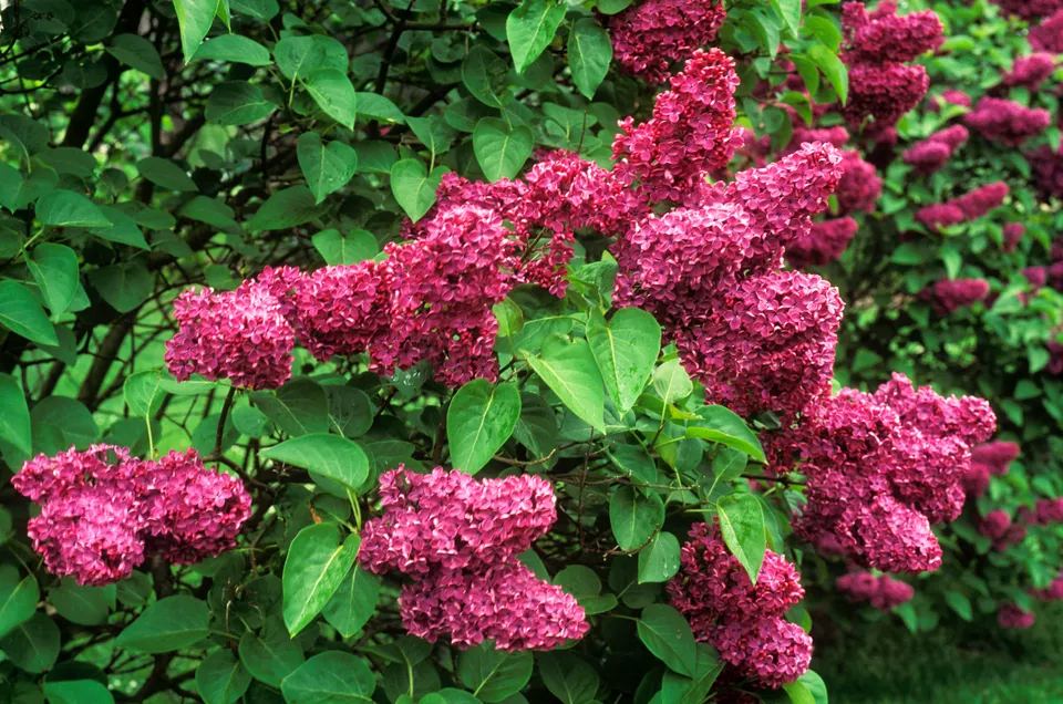 Your Guide to Growing & Caring for Lilac Bushes 2