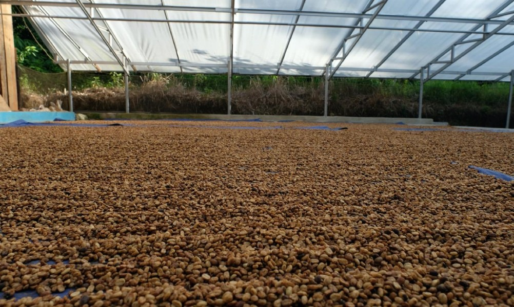 drying coffee beans