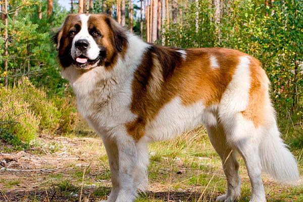 Московская сторожевая описание породы собак, характеристики, внешний вид,  история | Хвост Ньюс