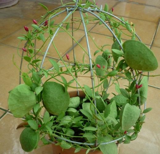 Kết quả hình ảnh cho cây lan sò