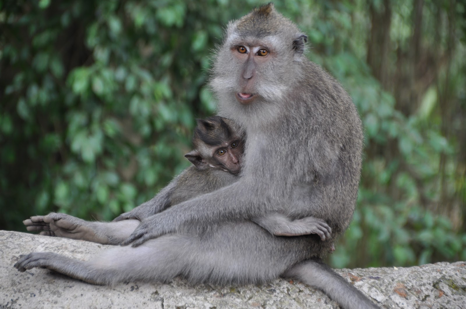 sitting baby macaque monkey hugging mother next to trees at pulaki temple pemuteran bali indonesia
