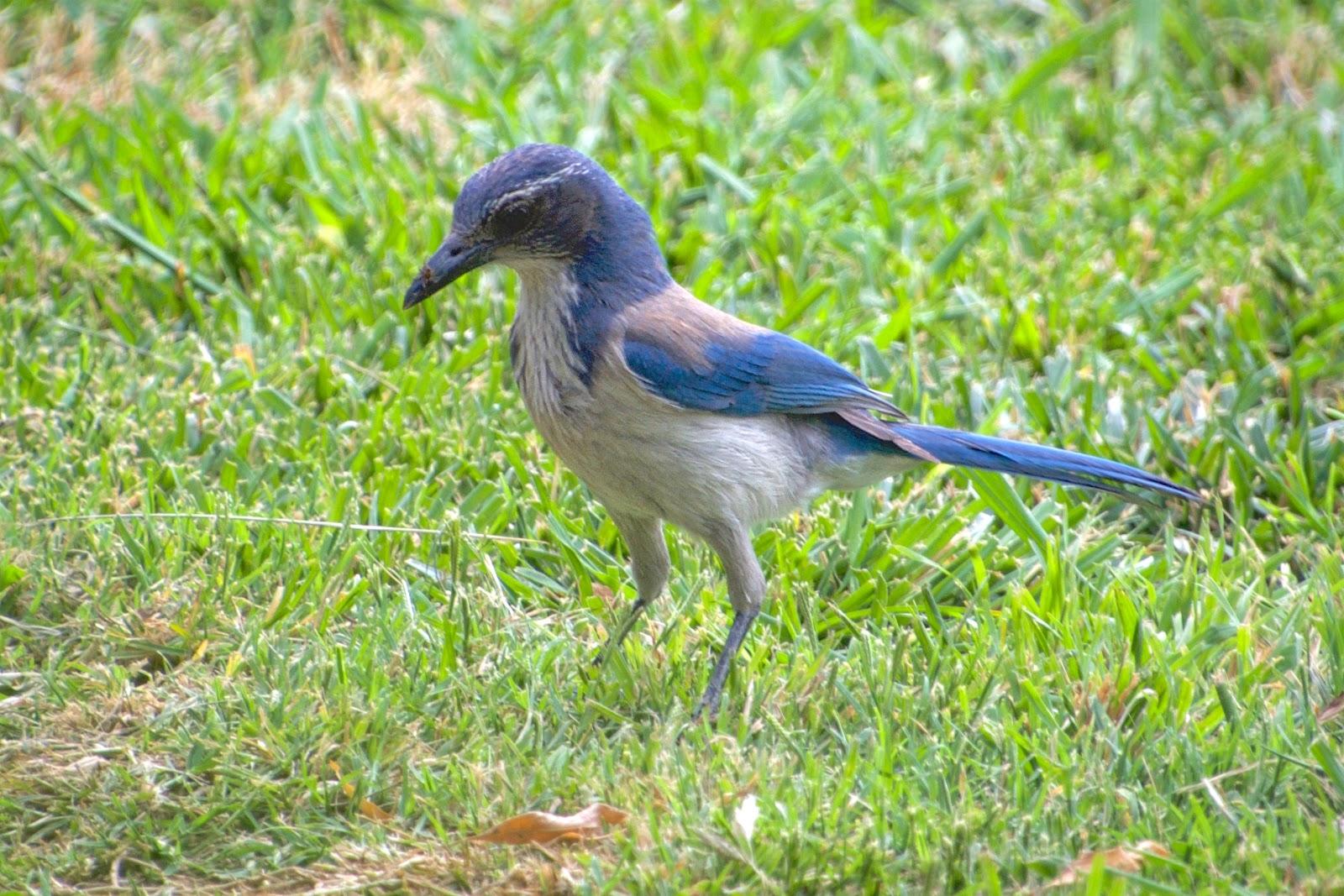 Blue Jay.jpeg