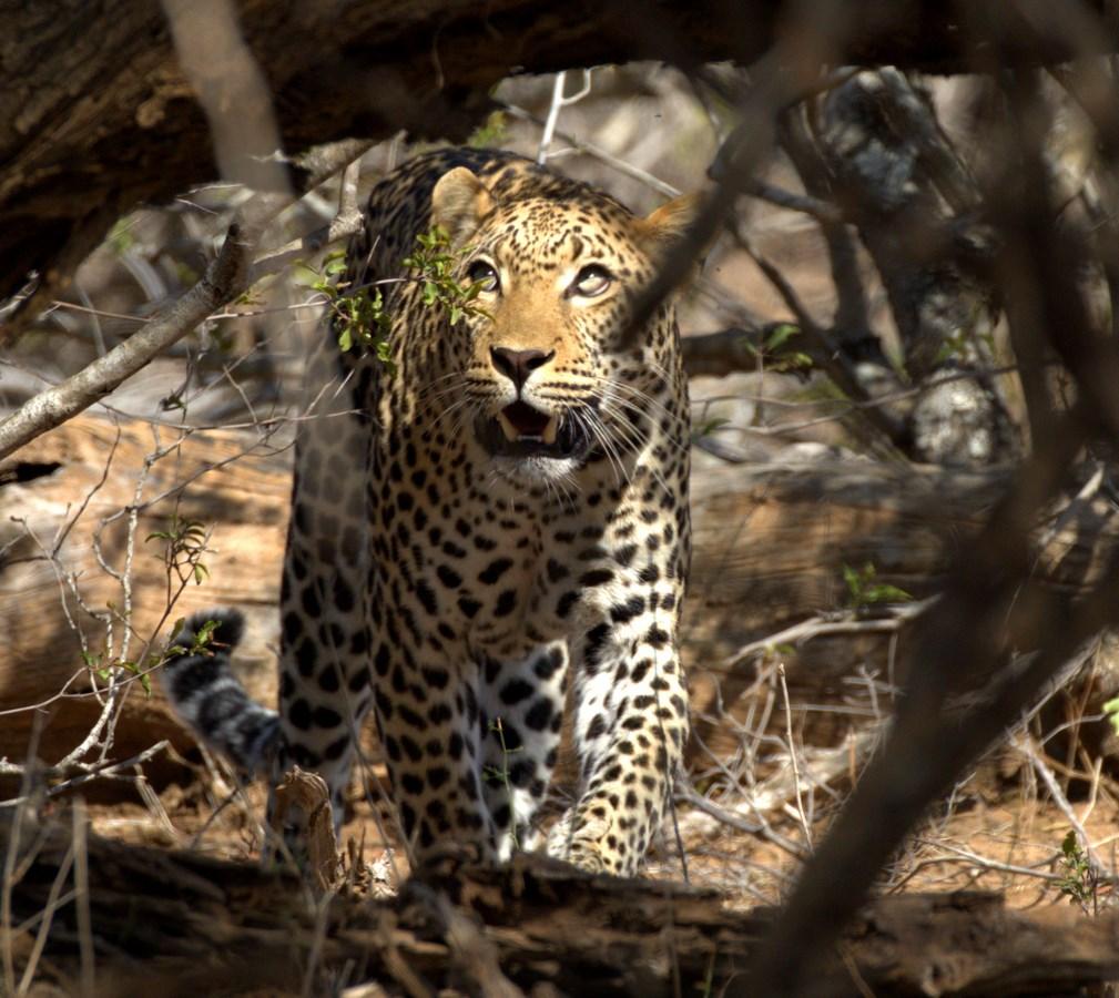 leopard 2a (Copy).jpg