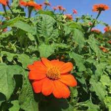 These spectacular tall Central American natives bloom non-stop from midsummer, with multitudes of star shaped, 3 to 4 inch red-orange flowers on densely branching velvety stems. Maturing 4 to 6 feet high, tithonia plants are brilliant welcoming beacons for both Monarch and Swallowtail butterflies.