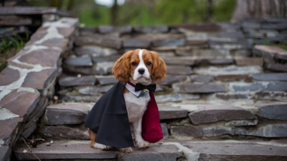 A small dog sitting on stone steps wearing a cape for a Halloween costume.