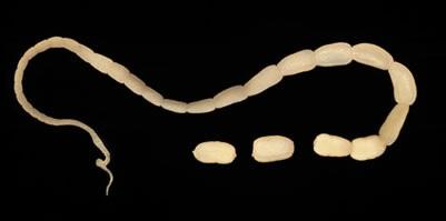 Hình ảnh minh họa sán dải chó trưởng thành