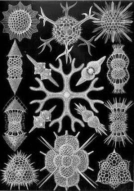 RTEmagicC_423px-Haeckel_Spumellaria_01.jpg.jpg