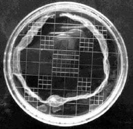 Embryon d'alpaga au 15e jour suivant l'ovulation