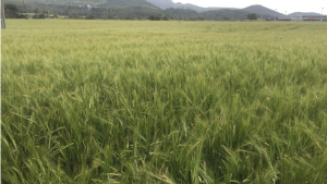 Weed-free winter cereals like galium