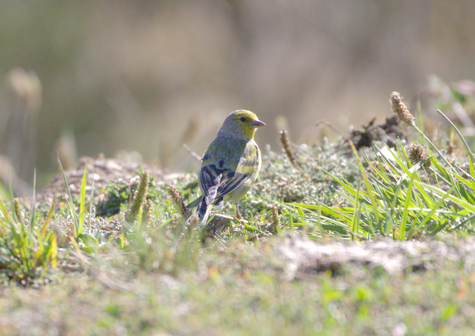 citril finch_rsz.jpg