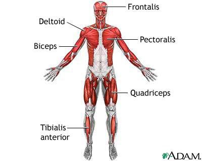 human body 2.0: muscular system, Muscles
