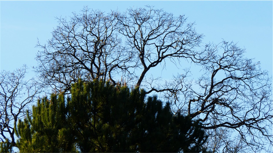 Pine and Oak.jpg