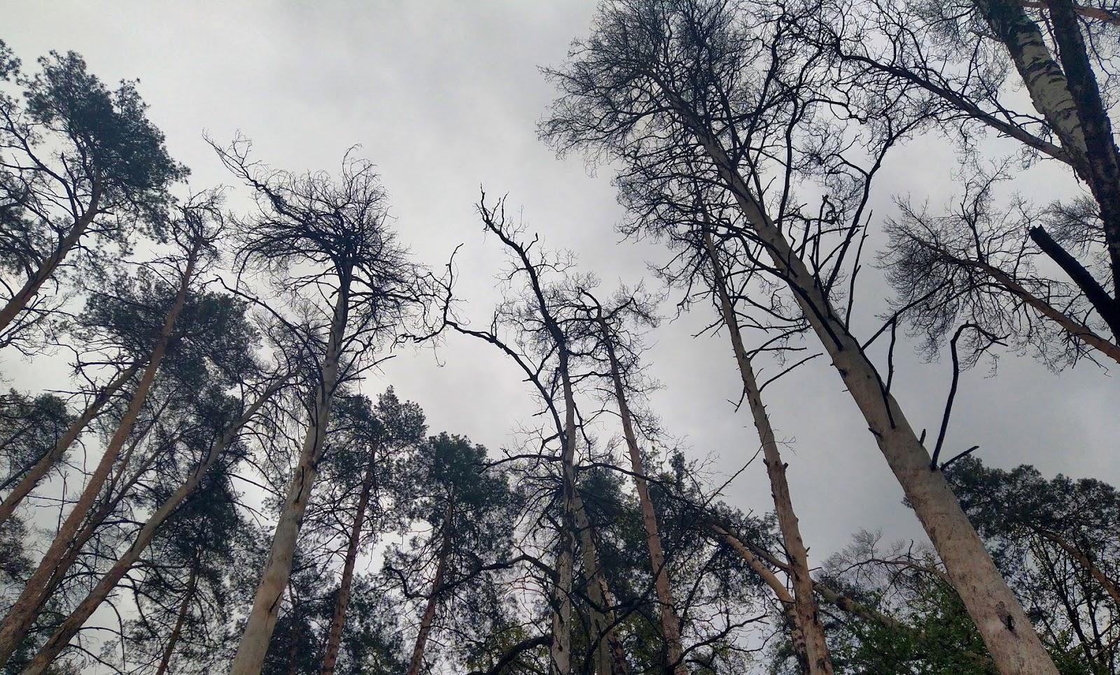 Ліс, ушкоджений пожежею кілька років тому. Пожежа виникла на торфовищі поруч