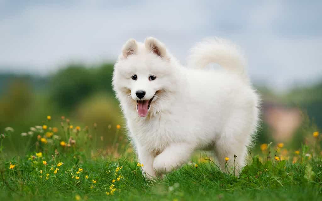 chó samoyed có ngoại hình xinh xắn