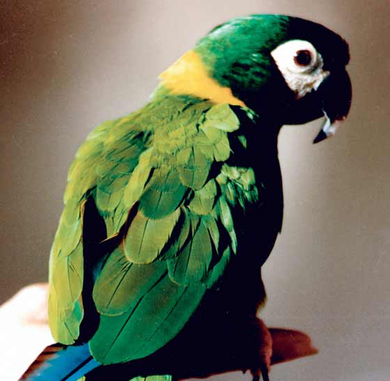 """The yellow-collared macaw is one of the so-called """"mini"""" macaws that exhibits characteristics similar to larger macaws but in moderation"""