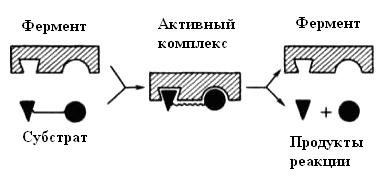 C:UsersПользовательDocumentsСтатьи_Копирайтпептидыключ-замок.png