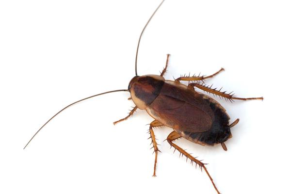 Pennsylvania wood Cockroach