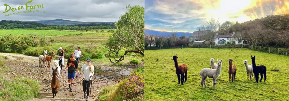 Enjoy the varied countryside while walking the alpacas at Lydford Gorge Alpaca.
