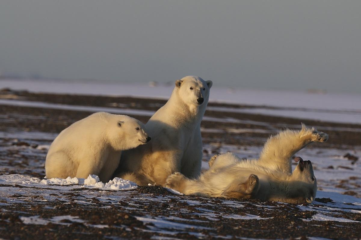 Polar bears playing in the water</p> <p>Description automatically generated with medium confidence