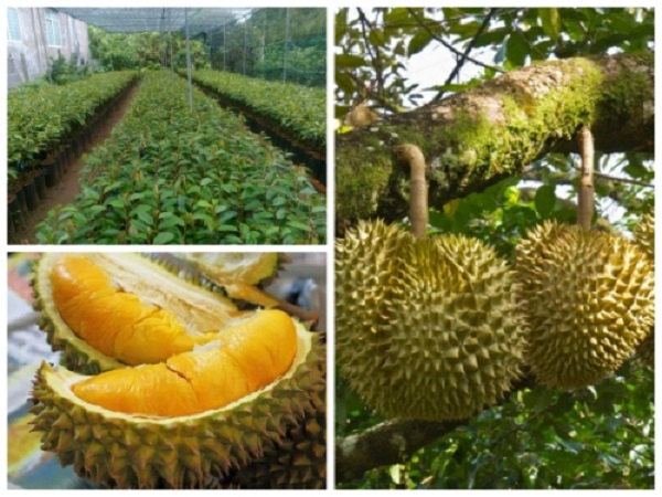 Beetrees-trồng-sầu-riêng-Musang-King-Malaysia-bao-lâu-thì-có-trái-2
