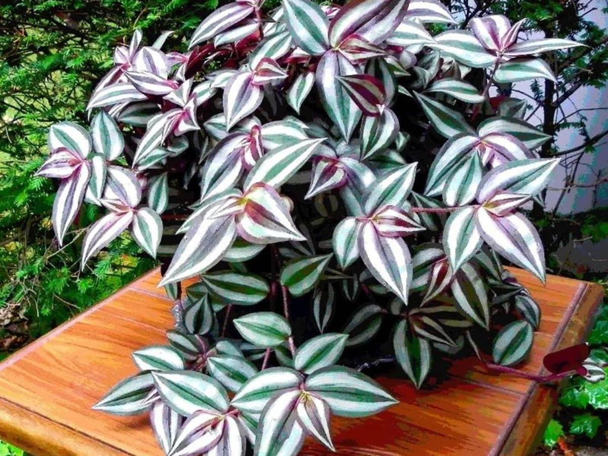 Wandering Jew Plant Basic Care After Propagation