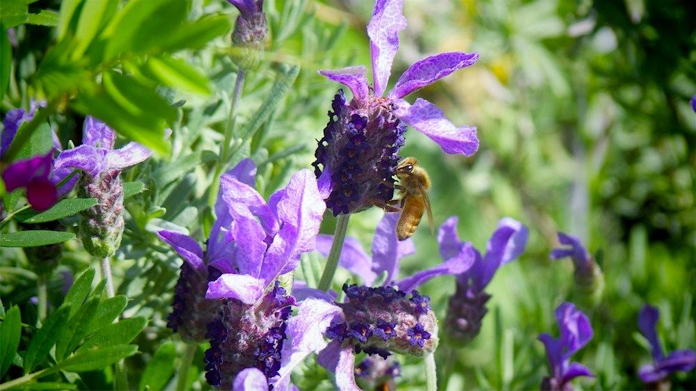Wild Honeybee.jpg