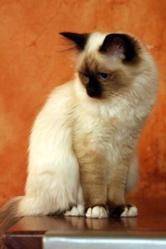 File:7-month-old Birman kitten (2006).jpg