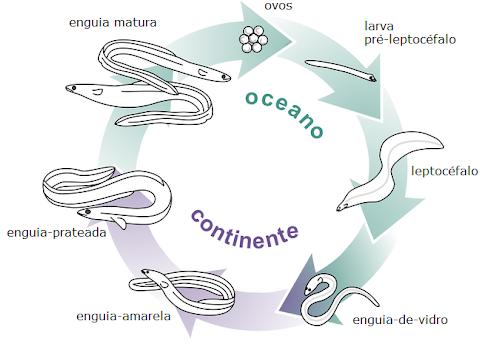 Ciclo de Vida da Enguia Europeia (Anguilla anguilla) in: Enguias da Ria de Aveiro - um ex-libris a preservar (2014)