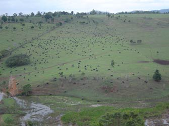 Effect of bad management and poor nutrition on buffaloes. Too many animals placed on a very poor pasture.